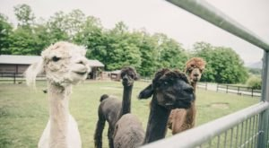 There's An Alpaca Farm In Massachusetts And You're Going To Love It