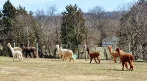 There's An Alpaca Farm In Maryland And You're Going To Love It
