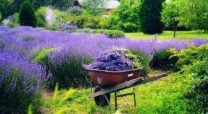 The Lavender Festival In Delaware That's Unlike Any Other