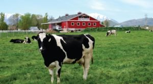 Dine With The Dairy Cows At This One-Of-A-Kind Utah Farm