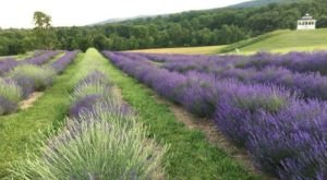 The Lavender Festival In Maryland That's Unlike Any Other