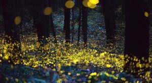 The Firefly Phenomenon In This Ancient Forest In South Carolina Is Magical And You'll Want To See It