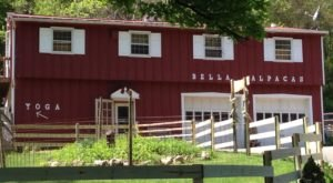 You'll Want To Visit This Charming Alpaca Farm In Connecticut Where You Can Stay The Night