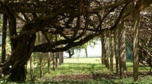 The Oldest Grapevine In America Is In North Carolina And You'll Want To See It