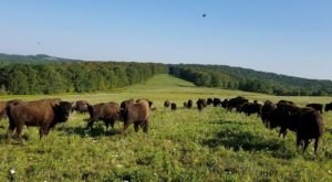 There's A Bison Farm Near Buffalo And You're Going To Love It