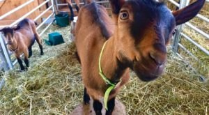 Go Goat Hiking At This Local Maine Farm For An Unforgettable Adventure