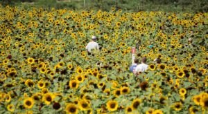 There's A 2.5-Acre Sunflower Maze In Connecticut That's Just As Magnificent As It Sounds