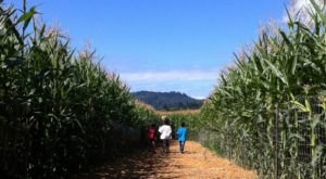 Get Lost In This Awesome 8-Acre Corn Maze In Oregon This Autumn