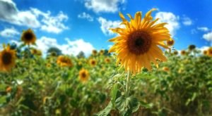 You'll Swoon Over This Pick-Your-Own Sunflower Field In Massachusetts