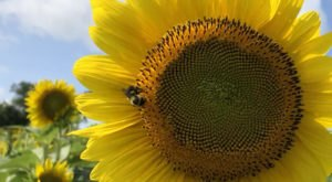 Pick Your Own Sunflowers At This Charming Farm Hiding In Iowa