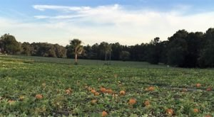 A Trip To This Charming Florida Pumpkin Patch Makes For An Excellent Fall Outing