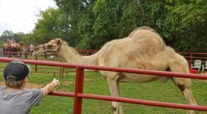 A Visit To This One Of A Kind Camel Farm In North Carolina Is An Absolute Blast