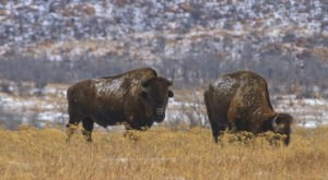 The One-Of-A-Kind Park In Oklahoma Where You Can See Bison Up Close