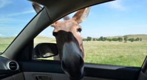 The One-Of-A-Kind Park In South Dakota Where You Can See Wild Burros Up Close