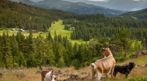 Go Hiking With Goats In Oregon For An Adventure Unlike Any Other