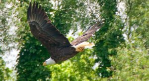 Bald Eagles Are Starting To Fly Over Arkansas And Here Are The 10 Best Places To Spot Them