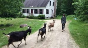 Go Hiking With Goats In Maine For An Adventure Unlike Any Other