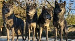 Play With Wolves At This Remarkable Animal Sanctuary Hiding In Indiana