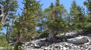 Hike This Ancient Forest In Nevada That's Home To 3,000-Year-Old Trees