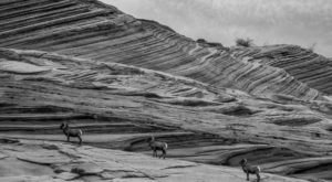 The Magical Place In Arizona Where You Can View A Wild Bighorn Sheep Herd