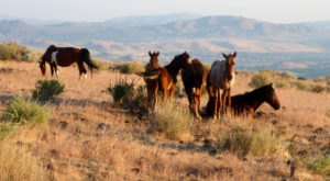 The Magical Place In Nevada Where You Can View A Wild Horse Herd