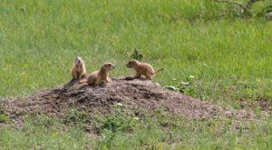 This Trail In North Dakota Will Lead You Right To The Middle Of A Prairie Dog Town