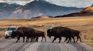 This Hidden Sanctuary In Utah Is Home To One Of The Largest Herds Of Bison In America