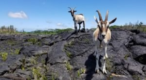 Go Hiking With Goats In Hawaii For An Adventure Unlike Any Other
