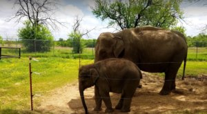 This Hidden Sanctuary In Oklahoma Is Home To One Of The Largest Herds Of Asian Elephants In America