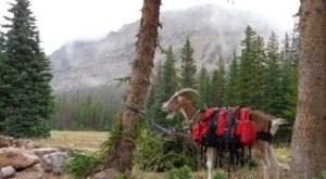 Go Hiking With Goats In Wyoming For An Adventure Unlike Any Other