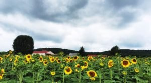 Get Lost In This Beautiful Sunflower Farm Near Nashville