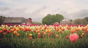 The Dreamy Tulip Farm In Rhode Island You'll Want To Visit This Spring