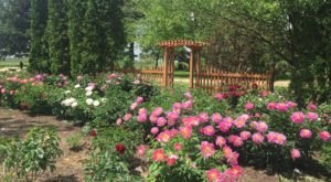 The Dreamy Peony Farm In Iowa You'll Want To Visit This Spring