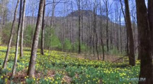 Thousands Of Daffodils Fill A Ghost Garden At The End Of This Spring Hike In North Carolina