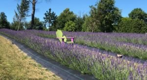 The Beautiful Lavender Farm Hiding In Plain Sight Near Detroit That You Need To Visit