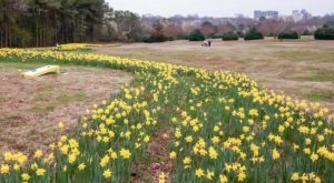The Daffodil Trail At This North Carolina Park Is A Magical Sight To Behold