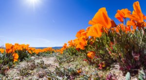 Wildflower Bloom Areas Are Closed In California Due To Terrible Visitor Behavior