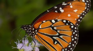 A Massive Monarch Butterfly Migration Is Passing Through Austin And You'll Want To See It For Yourself