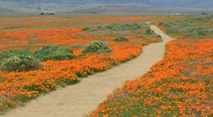When The Poppies In Southern California's Antelope Valley Are In Bloom, It's A Lovely Sight To See