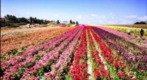 Visit This Flower Farm In Southern California For That Beautiful Scenic Experience You Crave