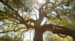 There's No Other Historical Landmark In Virginia Quite Like This 200-Year-Old Tree