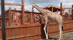 Visit New York's Most Famous Giraffe At This Adventure Park Your Family Will Love