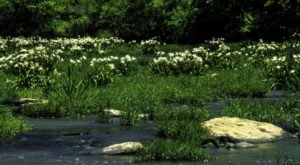 This Lily Refuge In Alabama Will Be In Full Bloom Soon And It's An Extraordinary Sight To See