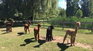Visit This Michigan Alpaca Farm For A Fun And Fuzzy Adventure