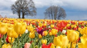 A Visit To This Enchanting Oregon Tulip Festival Will Make Your Spring Complete