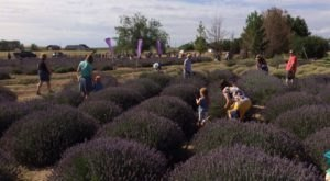 Get Lost In This Beautiful 11-Acre Lavender Farm In Idaho