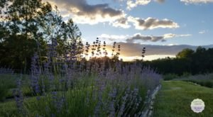 The Dreamy Lavender Farm In New Jersey You'll Want To Visit This Spring