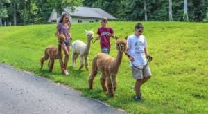 Visit This New Jersey Alpaca Farm For A Fun And Fuzzy Adventure