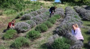 Kansas' Annual Lavender Festival Belongs On Your Summertime Bucket List