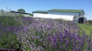 Visit This Lavender Farm In Kentucky For That Beautiful Scenic Experience You Crave